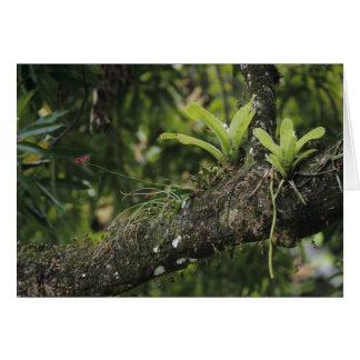 Pine Pink, Bletia purpurea, blooming on Mango Card