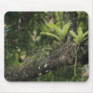 Pine Pink, Bletia purpurea, blooming on Mango Mouse Pad