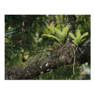 Pine Pink, Bletia purpurea, blooming on Mango Postcard