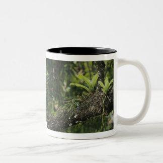 Pine Pink, Bletia purpurea, blooming on Mango Two-Tone Coffee Mug