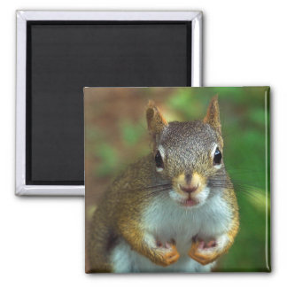Pine Squirrel (Got Nuts?) 2 Inch Square Magnet