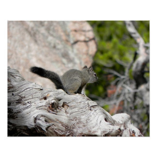Pine Squirrel on Weathered Log-Rocky Mountain Park Poster