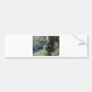 Pine tree branch dripping with resin bumper sticker