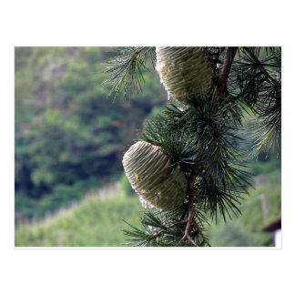 Pine tree branch dripping with resin postcard