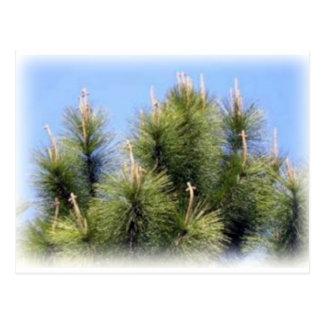 pine tree crosses postcard