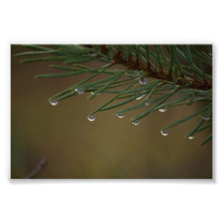 Pine Tree Drops Photo Print