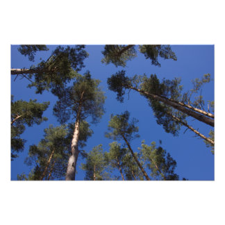 Pine Trees CC0278 Photo Print (27 in, 68 cm)