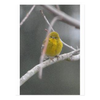 Pine Warbler Bird Nature Peek A Boo Postcard