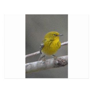 Pine Warbler Bird Nature Postcard