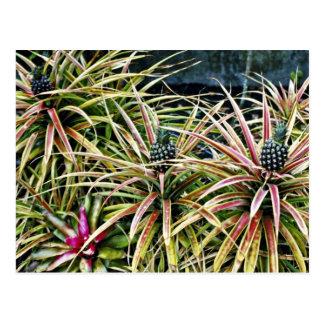Pineapple Crop - Lanai Postcard