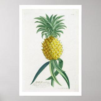 Pineapple engraved by Johann Jakob Haid (1704-67) Poster