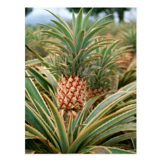 Pineapple Field Postcard