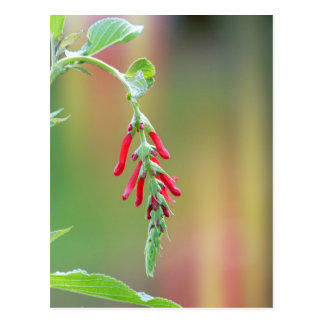 Pineapple Sage Bloom Postcard