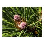 Pineflower Postales