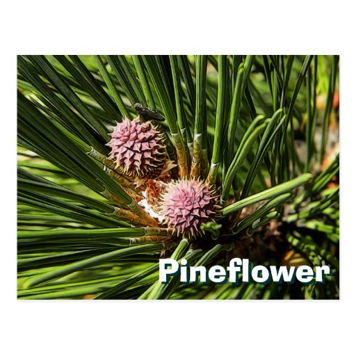 Pineflower Tarjetas Postales
