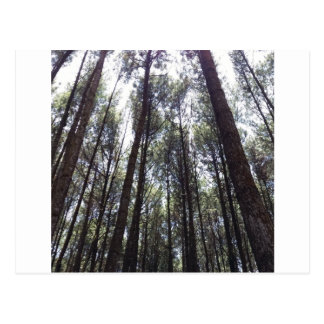 PINES FOREST POSTCARD