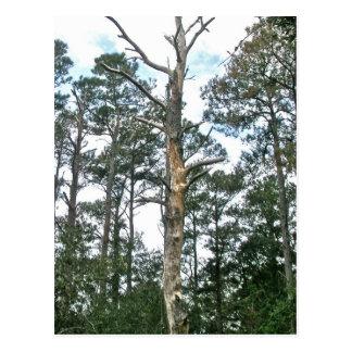 Pines on Beach Nature Trail OBX NC Postcard
