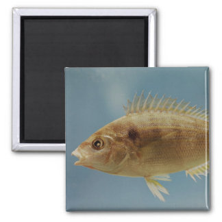 Pinfish Magnet
