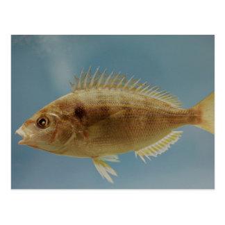 Pinfish Postcard