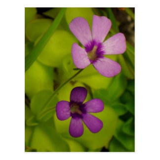 Pinguicula flower post cards