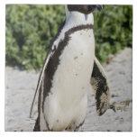 Pingüino africano, conocido antes como Jackass Azulejo Cuadrado Grande