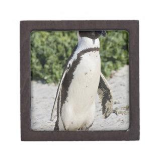 Pingüino africano, conocido antes como Jackass Cajas De Joyas De Calidad