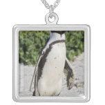 Pingüino africano, conocido antes como Jackass Collar Plateado