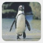 Pingüino africano ((demersus del Spheniscus) el Calcomania Cuadradas Personalizada