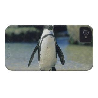 Pingüino africano ((demersus del Spheniscus) el ve iPhone 4 Cárcasa