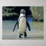 Pingüino africano ((demersus del Spheniscus) el ve Impresiones