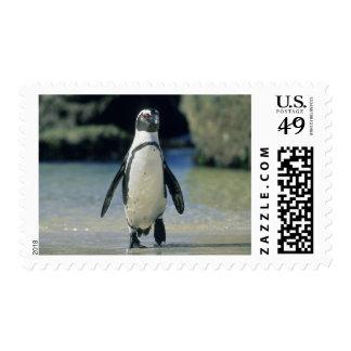 Pingüino africano demersus del Spheniscus el ve
