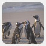 Pingüino africano (demersus del Spheniscus) o Jack Pegatina Cuadradas