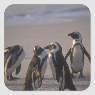 Pingüino africano (demersus del Spheniscus) o Pegatina Cuadradas
