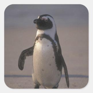 Pingüino africano (demersus del Spheniscus) o Pegatina Cuadrada