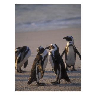 Pingüino africano (demersus del Spheniscus) o Tarjeta Postal