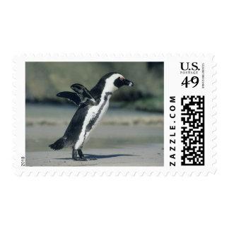 Pingüino africano demersus del Spheniscus vini