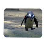 Pingüino africano imanes flexibles