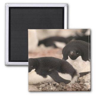 Pingüino de Adelie, adeliae del Pygoscelis, en la  Imán Cuadrado