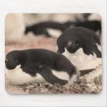 Pingüino de Adelie, adeliae del Pygoscelis, en la  Alfombrilla De Raton