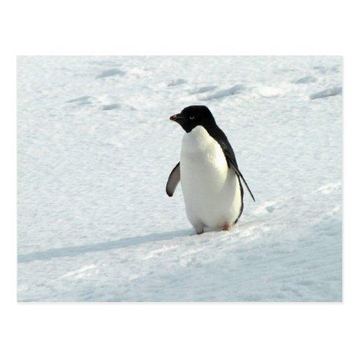 Pingüino de Adelie Postal