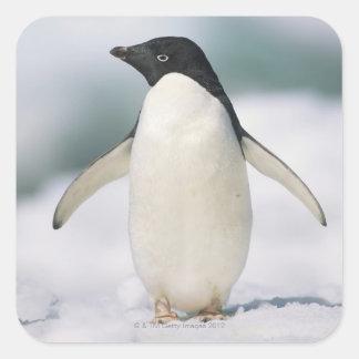 Pingüino de Adelie, primer Pegatinas Cuadradas