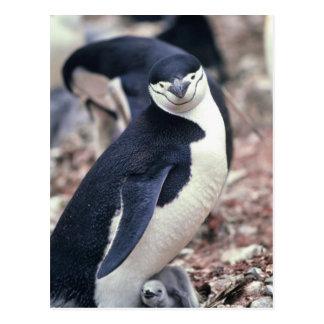 Pingüino de Chinstrap con el bebé Tarjeta Postal