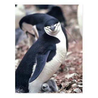 ¿Pingüino de Chinstrap Manchot jugulaire Pygosc Postal