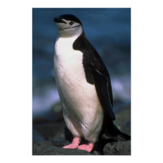 Pingüino de Chinstrap Impresiones