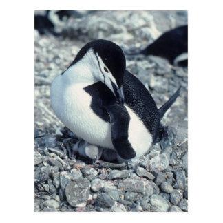Pingüino de Chinstrap Tarjeta Postal