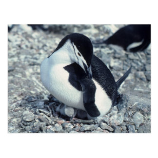 Pingüino de Chinstrap Tarjetas Postales