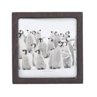 Pingüino de emperador cajas de joyas de calidad