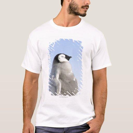 Pingüino de emperador del bebé, isla de la colina playera