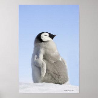 Pingüino de emperador del bebé, isla de la colina  póster