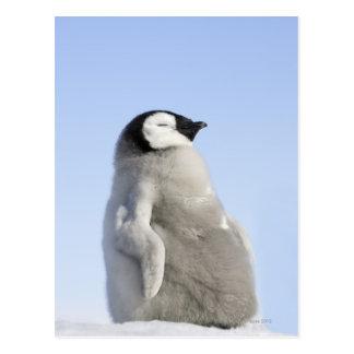 Pingüino de emperador del bebé, isla de la colina postal
